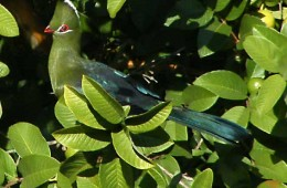 The famous Knysna Loerie in our Guava tree